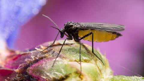 Digital photo of a dark-winged fungus gnat, Sciaridae on bud.