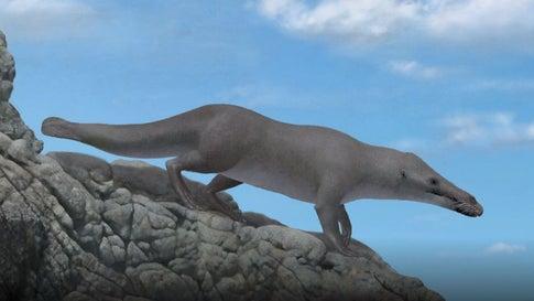 Ur-Wal-Fossilien in Peru gefunden, Screenshot aus Video, Cell Press