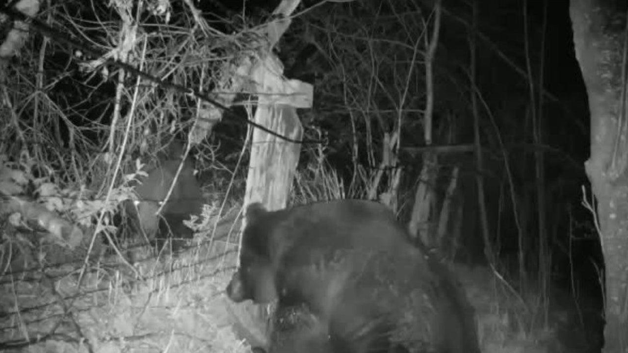 In diesem Video treffen zwei Bären an der russischen Grenze aufeinander. Die Situation eskaliert schnell. Nach kurzem Blickkontakt gehen die Raubtiere aufeinander los.