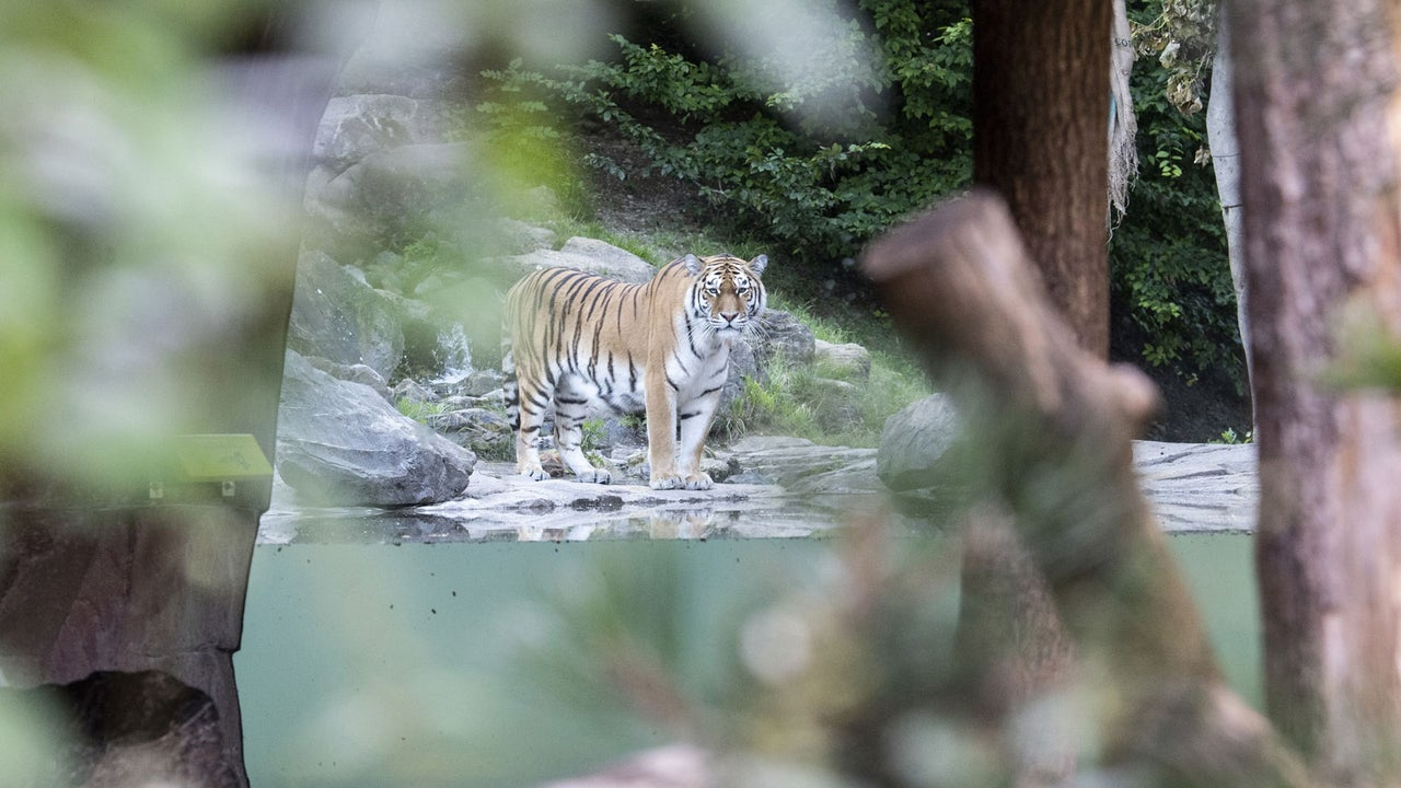 Im Zoo Zürich ist am Samstag eine 55-jährige Tierpflegerin vom Tigerweibchen Irina tödlich verletzt worden. Wie es dazu kam, ist noch unklar - anders als die Zukunft der Tigerin.