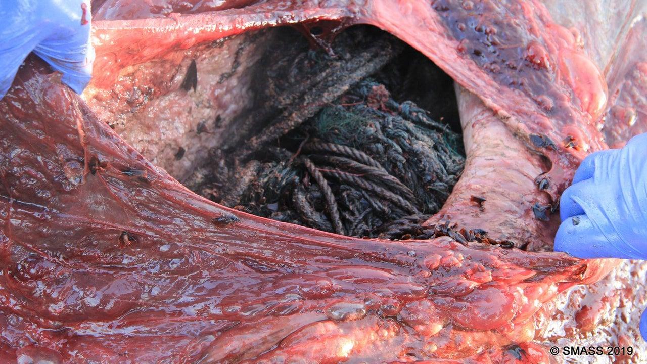 Ein Pottwal ist an einer schottischen Insel angespült worden und gestorben. In seinem Magen wurden Fischernetze, Plastiktüten, Seile und anderer Plastikmüll gefunden.