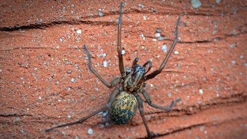 Große Winkelspinnen ziehen jetzt in warme Wohnungen – Wie Sie das verhindern