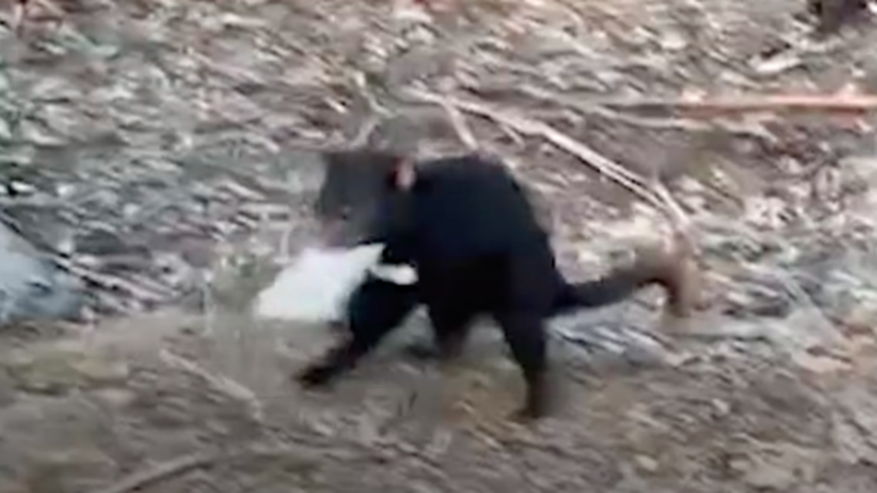 Tasmanian Devil On the Run After Stealing Chocolate