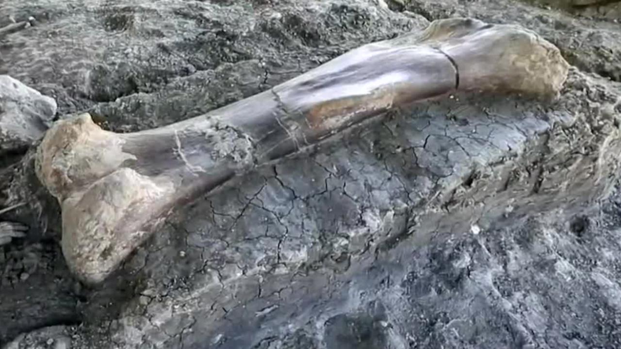 Paleontologists Find 6.5-Foot-Long Dinosaur Thigh Bone