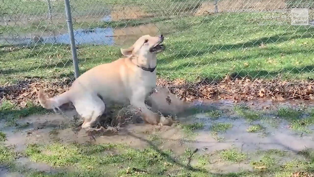 A yellow lab in Indiana named Stevie got a good splash in a puddle while on a walk.