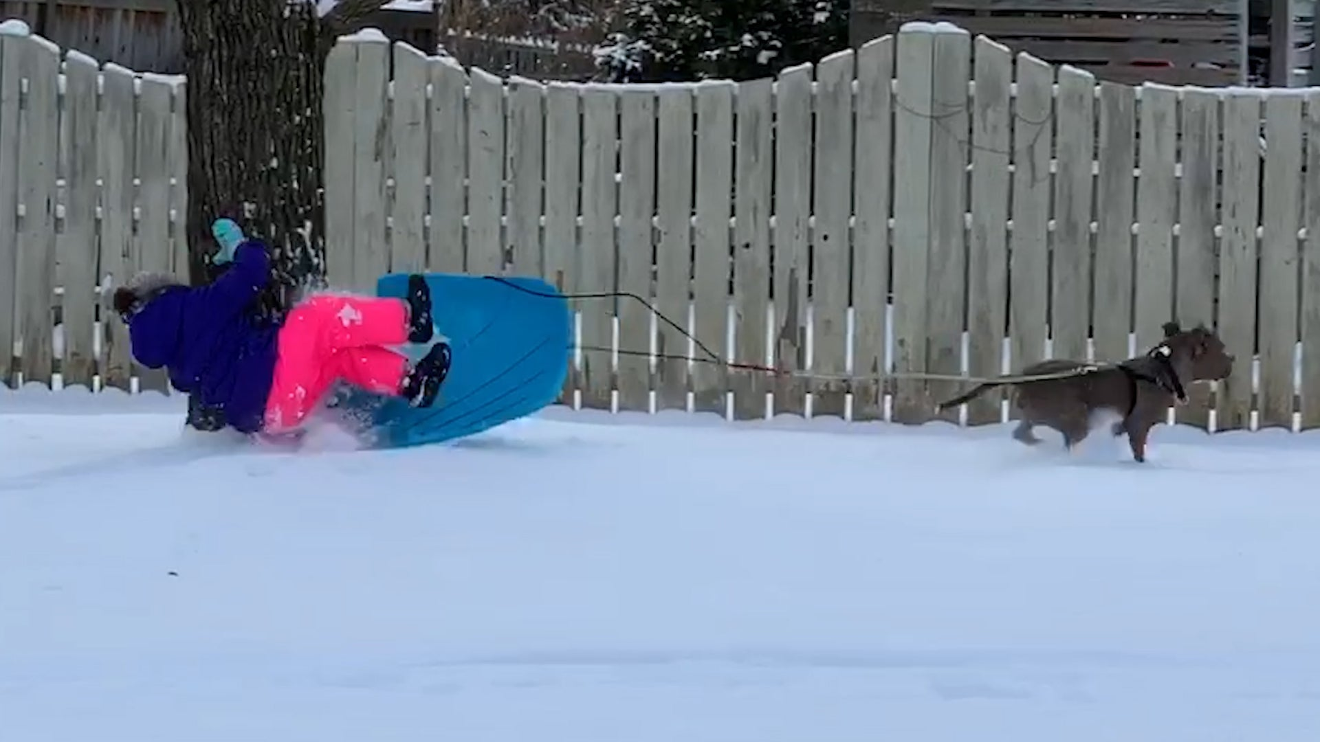 Pet Dog Playfully Pulls Girl in Sled
