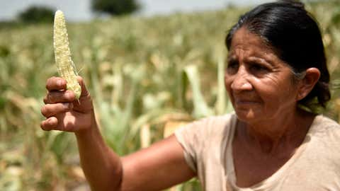 An El Salvador resident shows a shriveled ear of corn from her family's drought-devastated crop near Usulutan on July 24, 2018.