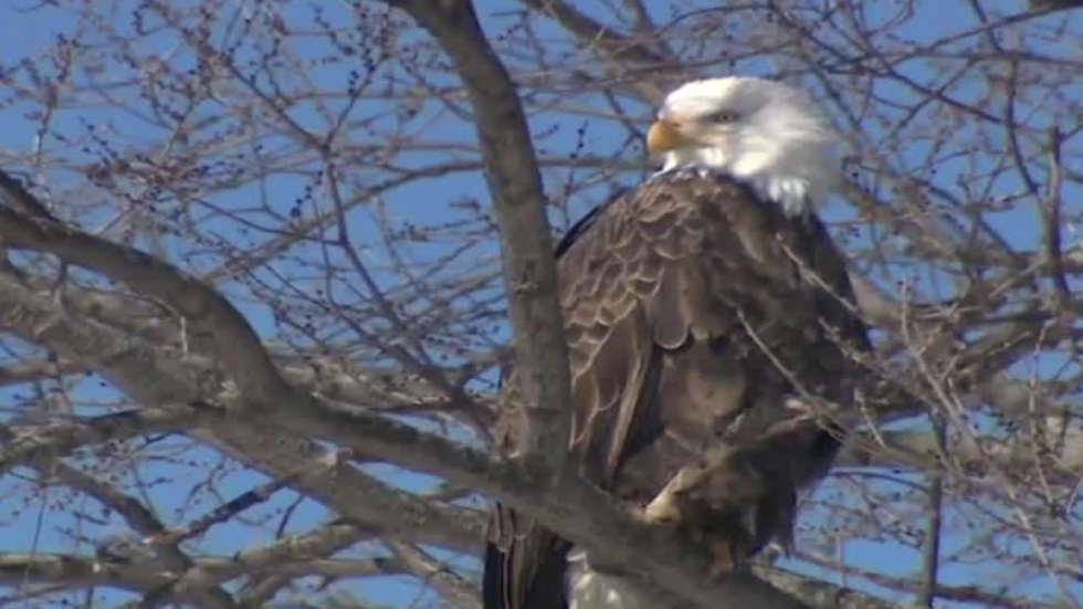 Banned Pesticide Blamed for Bald Eagle Deaths in Maryland
