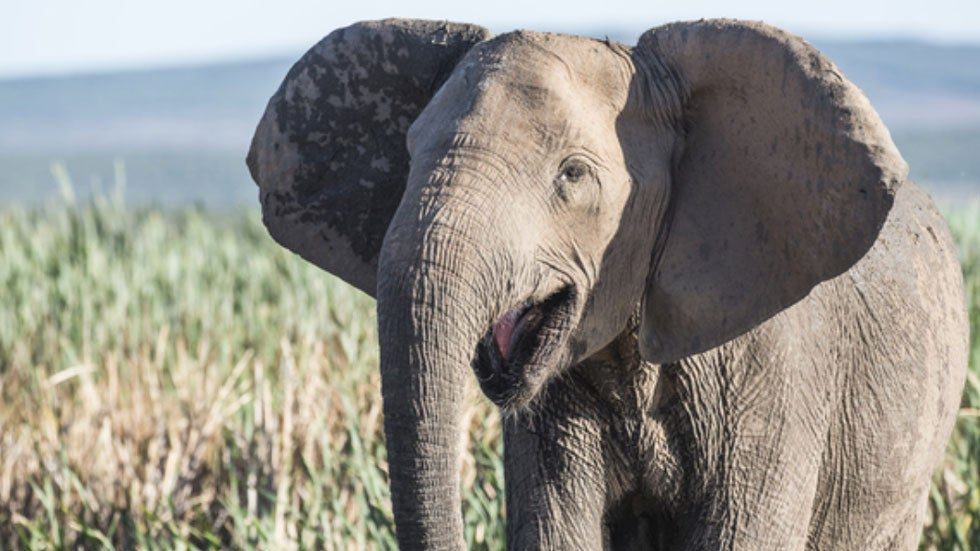 African Elephants Evolved Without Tusks After Mozambique's Civil War