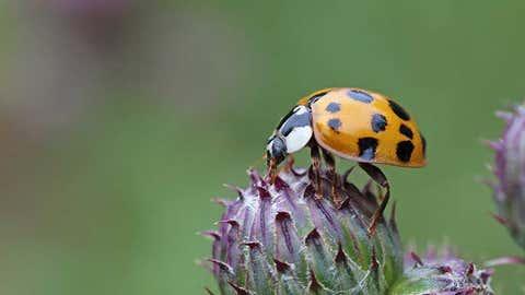 The Asian lady beetle harmonia axyridis on thistle head (MacLean's)