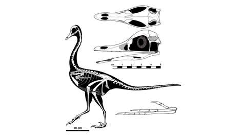 It had feathers and looked as if it were part penguin, part duck and part swan. It was between the size of a chicken and a turkey and ate the same sorts of things in the same sorts of places as a heron, but it was a dinosaur. A feathered dinosaur named Halszkaraptor escuilliei is shown in a handout illustration from the University of Alberta. THE CANADIAN PRESS/HO- University of Alberta, *MANDATORY CREDIT*