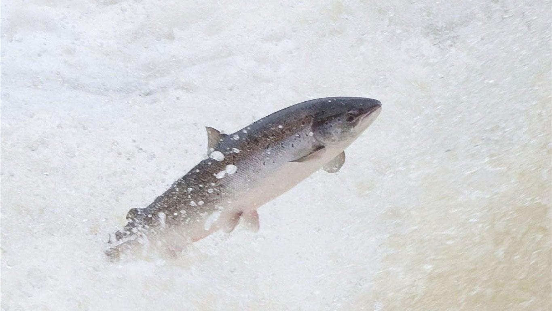 Warming Pacific Northwest Waters Threaten Salmon