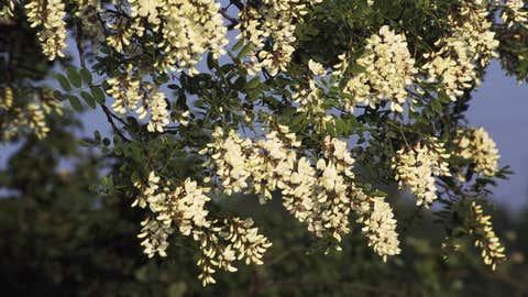 La flor de la acacia falsa es un indicador prometedor a la hora de encontrar una buena sombra en la que cobijarse del calor del verano. DEA / S. MONTANARI / GETTY
