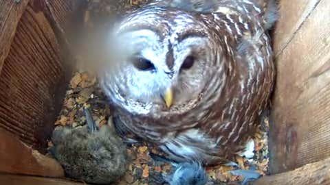 Un búho cuida a sus polluelos en un nido monitorizado por una cámara de vídeo. CORNELL LAB BIRD CAMS PROJECT vía YOUTUBE