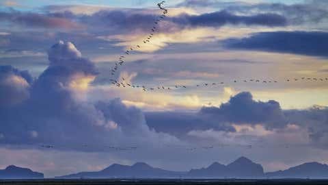 Una bandada de gansos, sobre Islandia. ARCTIC-IMAGES / GETTY