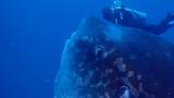 Giant Ocean Sunfish Surprises Divers in Bali