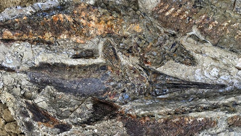 Fossilized fish stacked atop each other suggests they were flung ashore and died stranded together on a sand bar after the waves from the inland sea withdrew. (Courtesy of Robert DePalma via UC Berkley)