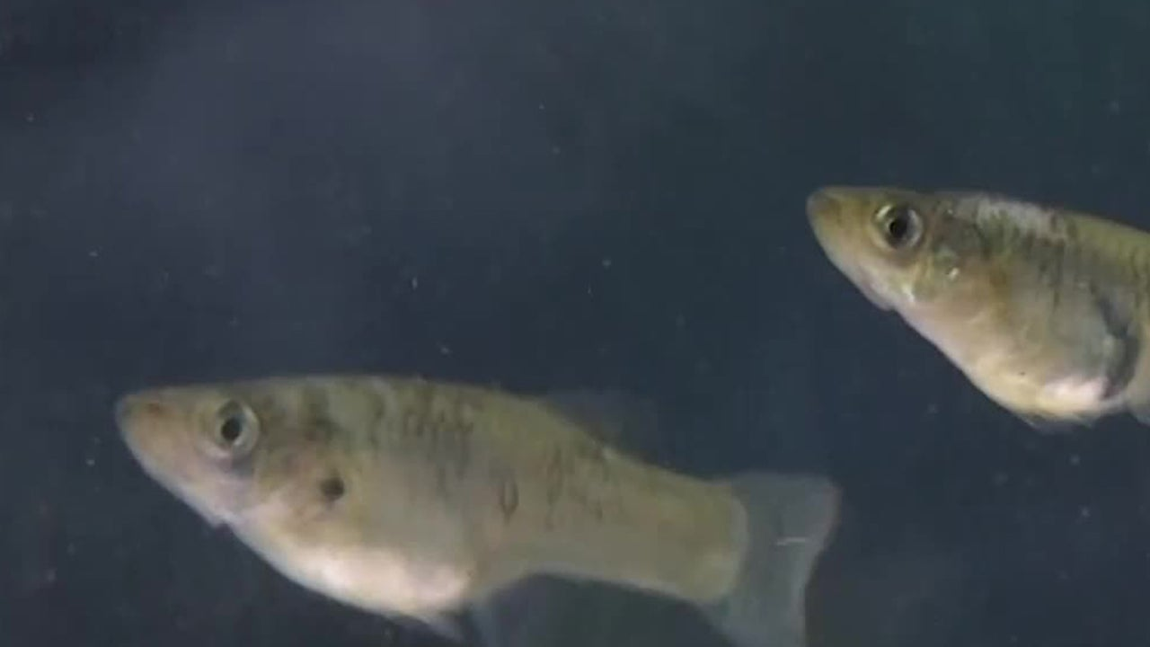 Antidepressant Pollution Make Fish Less Aggressive, Study Finds
