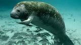 100-Plus Manatees Killed in Florida Watercraft Incidents in 2019