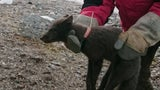 Arctic Fox's Epic Trot From Norway to Canada Stuns Scientists