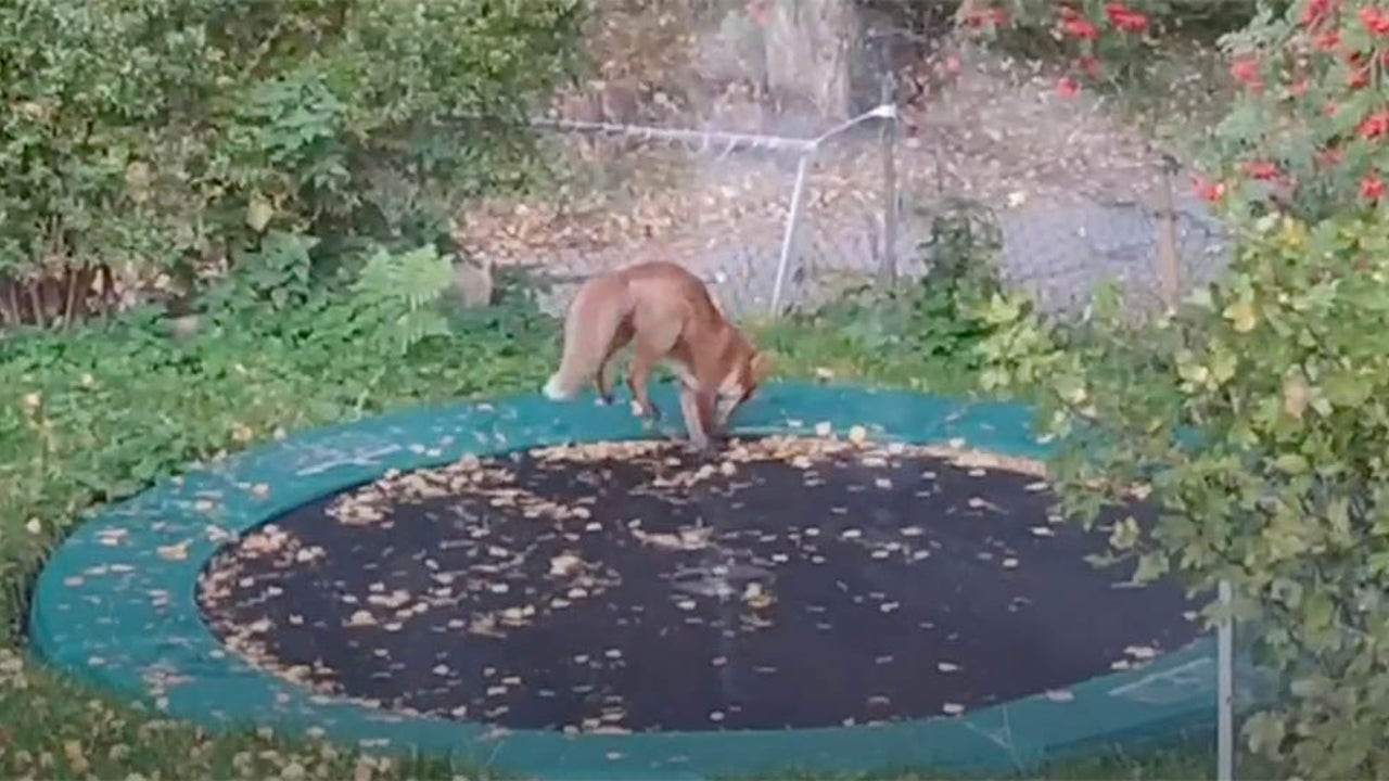 Fox Wanders into Yard, Sticks Around to Bounce