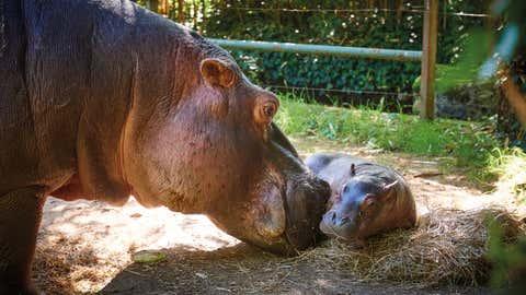 Le petit hippopotame avec sa maman, Babeth. (Crédit V.Corvasier / Zoo de la Flèche)