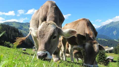 La filière bovine veut doubler sa production en bio. (CCO)