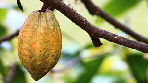 Menacé par le réchauffement, le cacao pourrait bientôt disparaître. (CCO)