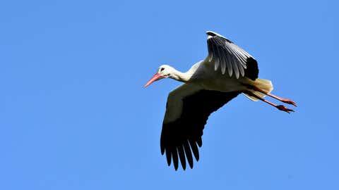 Certaines parviennent à migrer plus loin, en battant beaucoup moins des ailes. (CCO)