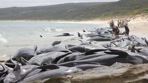 Selon les secours, seuls 7 delphinidés auraient survécu. (Parks and Wildlife Western Australia)