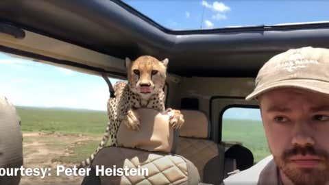 Visiblement, l'animal voulait simplement explorer le véhicule. (Capture Facebook Peter Heistein)