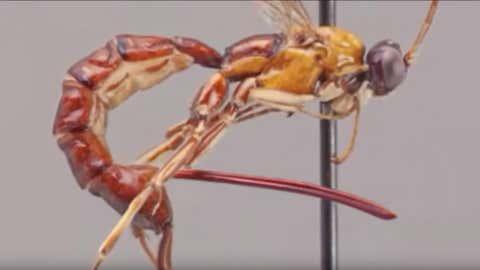 L'insecte possède un dard géant, une arme redoutable. (Capture Youtube jack suire)