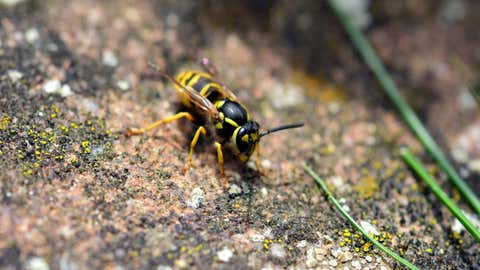 Les guêpes, mais aussi abeilles et frelons sont beaucoup plus nombreux cet été. (CCO)