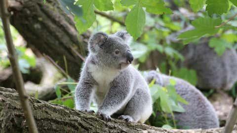 Les marsupiaux ne seraient plus que 43 000 dans la nature, contre 10 millions il y a 200 ans. (CCO)