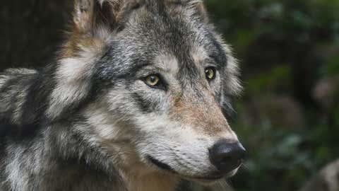 La population des loups doit dépasser les 500 individus cet hiver. (CCO)
