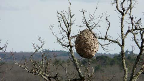 Un nid de frelons asiatiques. (CCO)