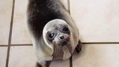 L'animal a parcouru plus de 3000 kilomètres à la nage en un mois. (Capture Facebook Océanopolis)