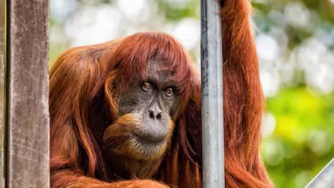 La «Dame» avait atteint l'âge remarquable de 62 ans. (Youtube Perth Zoo)