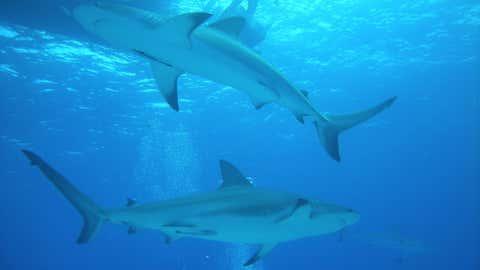 La dernière mésaventure d'Andy McWilliams ? Une morsure de requin à Hawaï. (CCO)