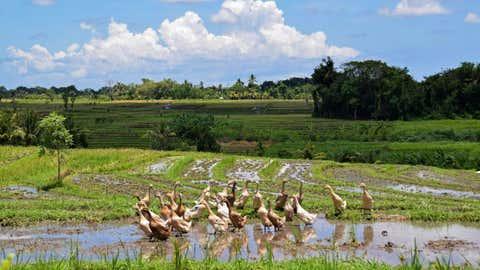 Des canards dans une rizière d'Indonésie, où la méthode est également utilisée. (CCO)