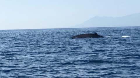 Pouvant mesurer 20 mètres, il s'agit du deuxième plus gros animal sur Terre. (Capture Facebook Stephan Le Gallais)