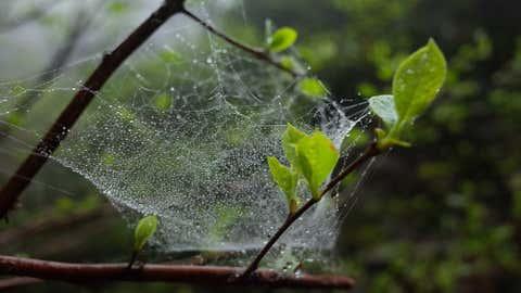 Ces toiles sont dues à la présence de très nombreuses araignées. (Illustration/CCO)