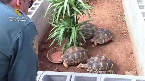 Plus de 1100 reptiles, dont de nombreux en voie de disparition, ont été saisis. (Guardia Civil)