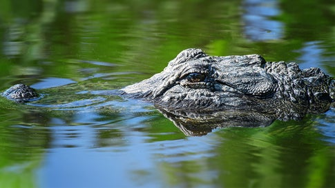 Florida Man Wrestles Alligator to Save His Beloved Pup | The