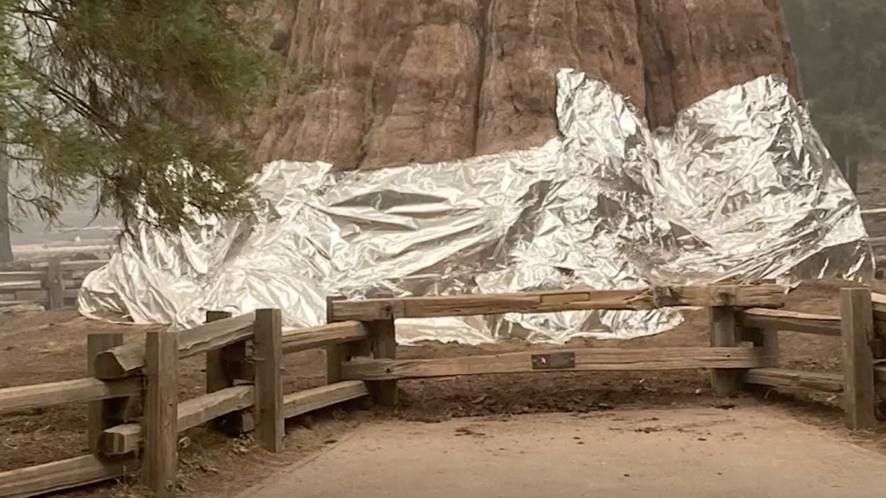 World's Largest Tree Wrapped in Foil In Attempt to Save It