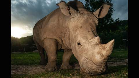 The last male northern white rhino died in 2018, leaving behind just two females. (Arun Roisri/Getty Images)