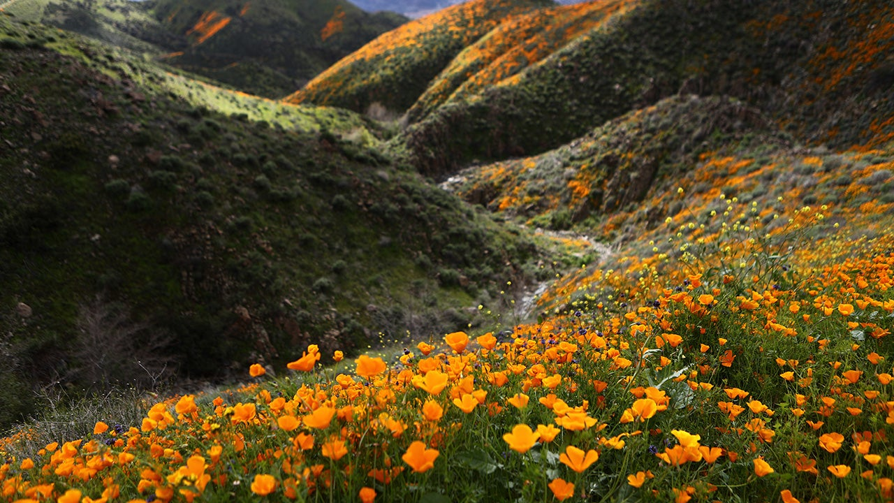 A 'super bloom' of wild poppies blankets the hills of Walker Canyon on March 12, 2019 near Lake Elsinore, California. Heavier than normal winter rains in California have caused a 'super bloom' of wildflowers in various locales of the state.  (Mario Tama/Getty Images)