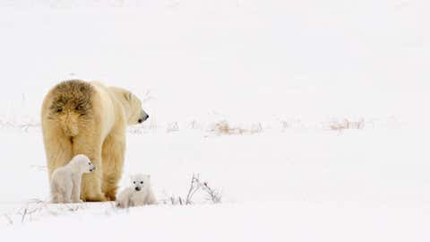 Polar Bear Sow With Her Cubs In Wapusk National Park