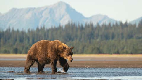 A large sow brown bear (Ursus arctos) walks across the delta at the mouth of the Sargent River in Lake Clark National Park. She has one paw held up and curled as she is midstep and mountains can be seen in the background. (A large sow brown bear (Ursu
