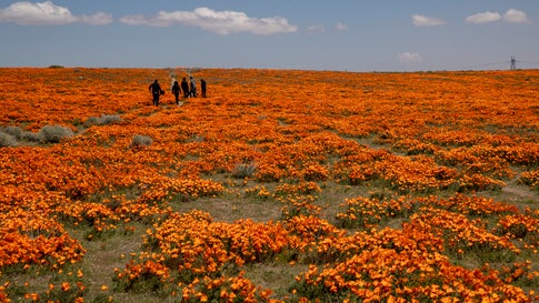 A group of people hike along a trail among blooming California poppies in a field along Lancaster Blvd. on Tuesday, April 21, 2020, in Lancaster, Calif. (Brian van der Brug / Los Angeles Times via Getty Images)